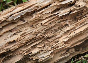 Termite-damaged wood showing rotting galleries outside of a Berlin home